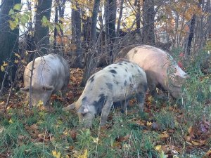 pigs_foraging